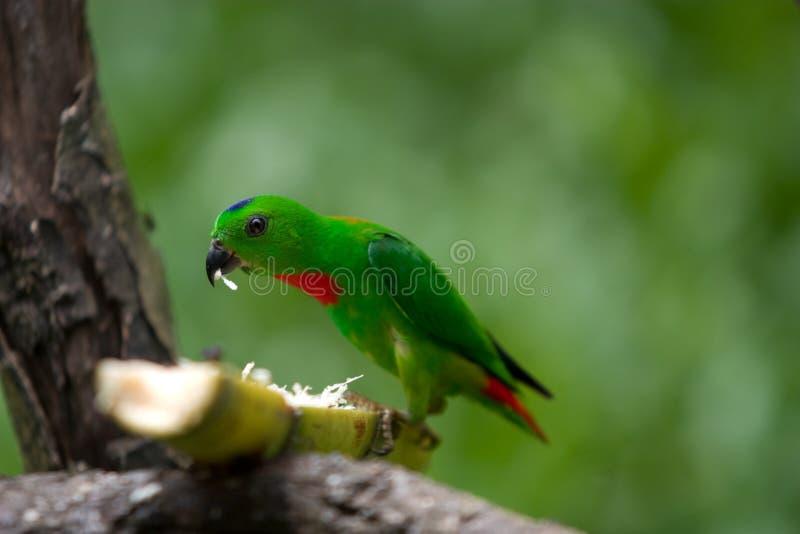 Der grüne Papagei stockfotografie