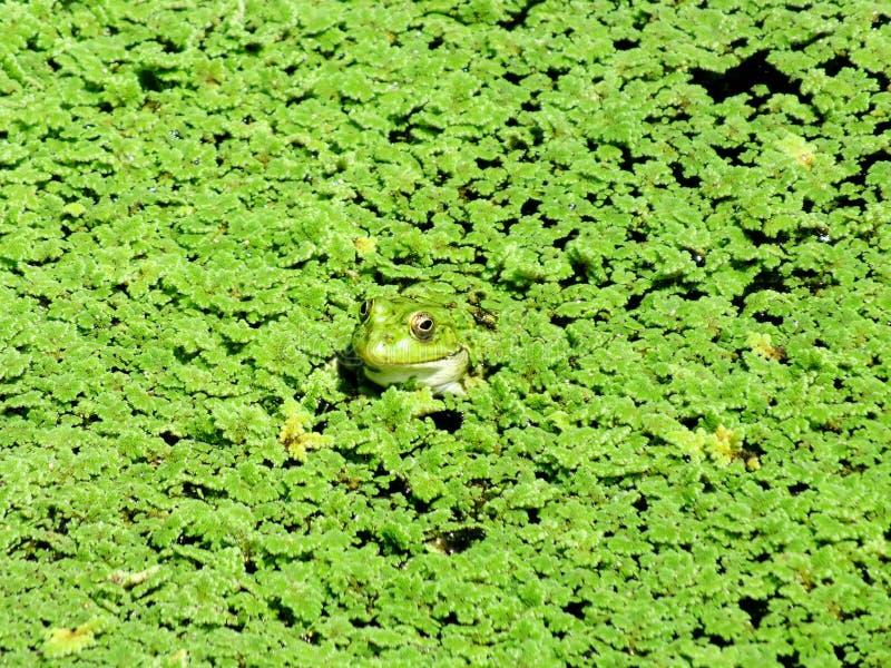 Der grüne Sumpf stockbilder