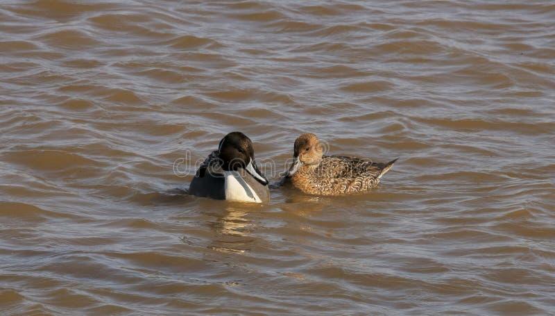 Der Graciousness der Nordspießenten-Ente stockfoto