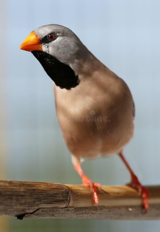 Der Grassfinch Enquisitive-Mists lizenzfreie stockfotos