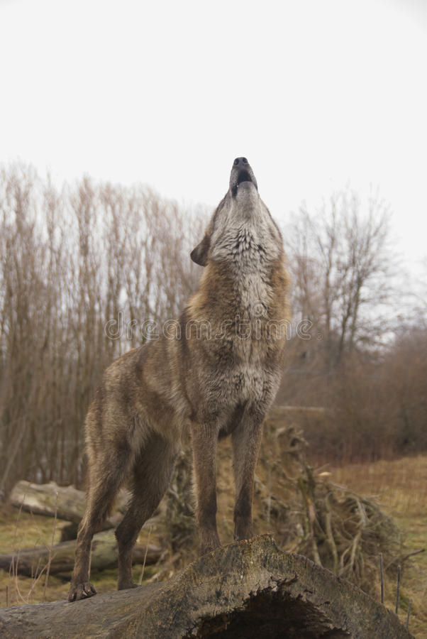 Heulenwolf lizenzfreie stockfotografie