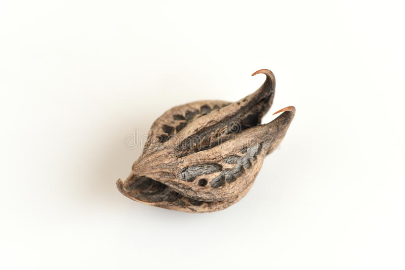Der Greifer des Tigers, der Greifer des Teufels (Martynia annua L ), Samen stockfotos