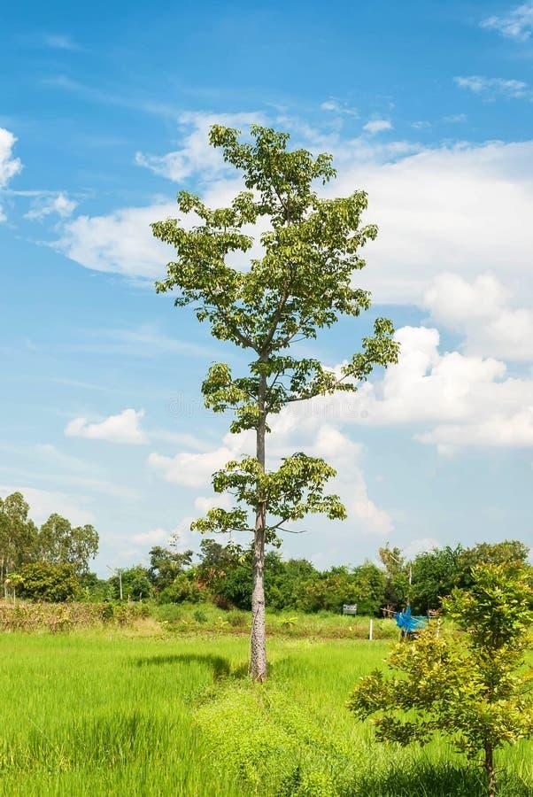 Der große einsame Baum auf einer grünen Wiese gegen das bewölkte Blau SK stockfotos