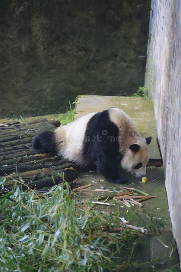 Der große Panda gehört den einzigen Säugetieren des Karnivorens, der Bärenfamilie, des Subfamily des großen Pandas und des großen lizenzfreies stockbild