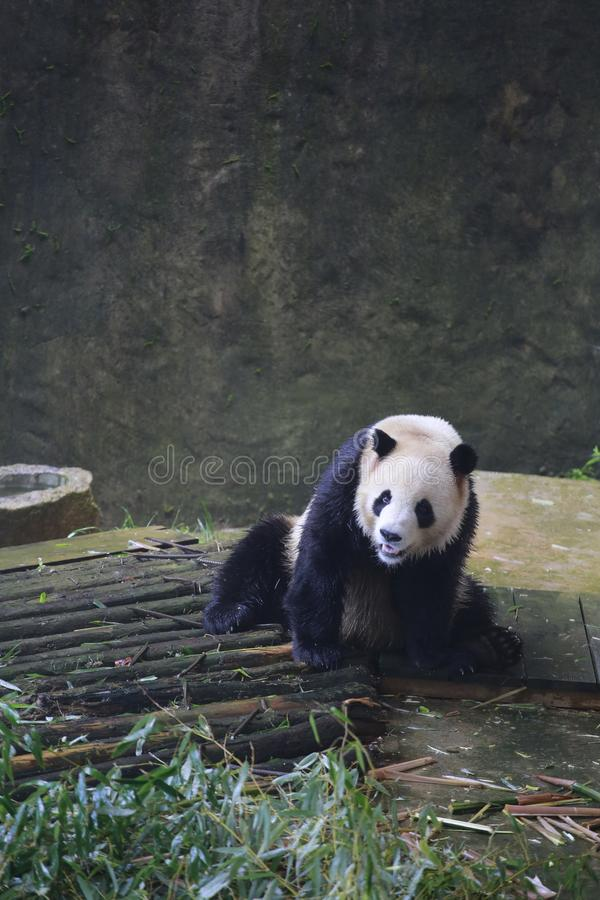 Der große Panda gehört den einzigen Säugetieren des Karnivorens, der Bärenfamilie, des Subfamily des großen Pandas und des großen lizenzfreie stockfotos