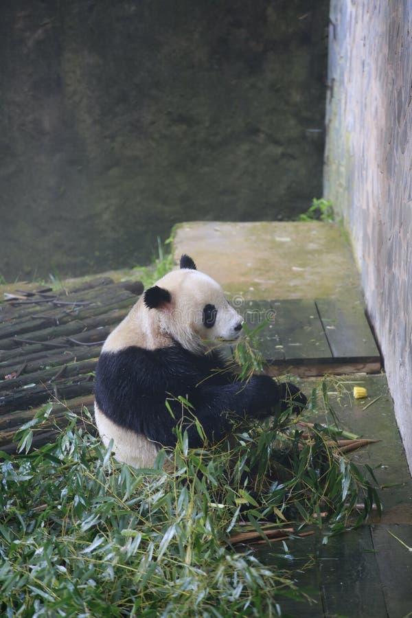 Der große Panda gehört den einzigen Säugetieren des Karnivorens, der Bärenfamilie, des Subfamily des großen Pandas und des großen stockbild