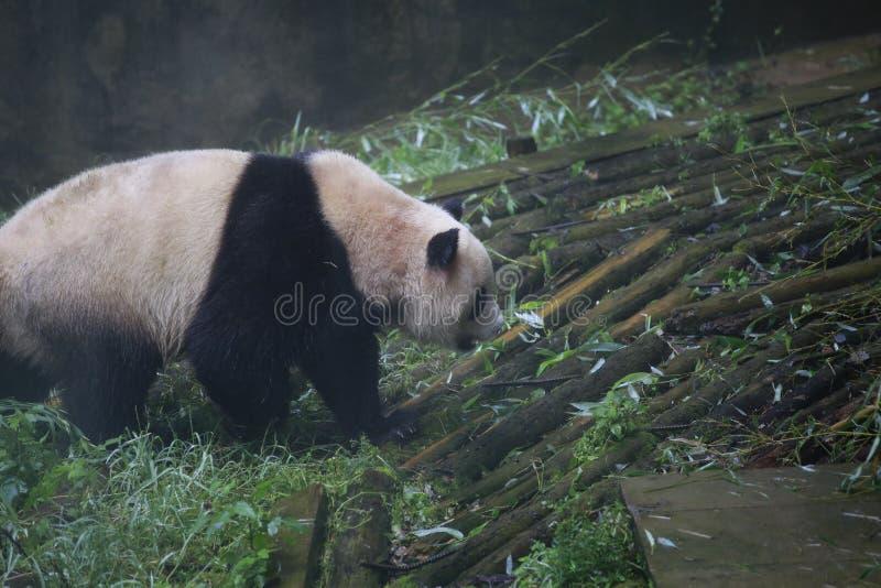 Der große Panda gehört den einzigen Säugetieren des Karnivorens, der Bärenfamilie, des Subfamily des großen Pandas und des großen stockfoto