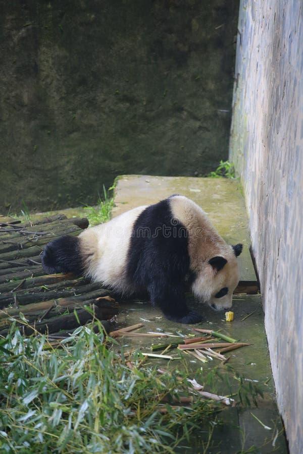 Der große Panda hat auf der Erde für mindestens 8 Million Jahre gelebt und bekannt als das 'lebende Fossil 'und 'nationales treas stockbild