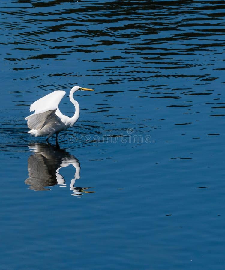 Der große Reiher, der im Wasser mit Flügeln steht, verlängerte lizenzfreies stockfoto