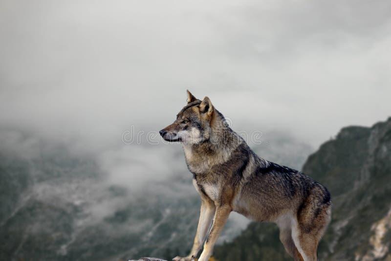 Der große Wolf steht auf dem Felsen und passt die Umwelt auf Nebel und Herbstlandschaften im Hintergrund stockfotografie