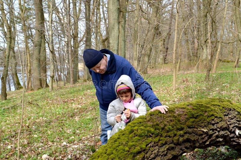 Der Großvater und die Enkelin betrachten die ersten Frühlingsblumen im Wald lizenzfreie stockbilder