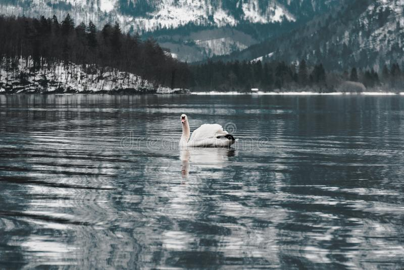 Der Hallstatt-Höckerschwan, Österreich lizenzfreie stockfotos