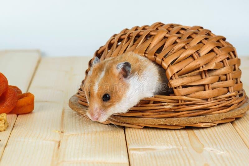 Der Hamster schaut aus seinem Haus heraus lizenzfreies stockbild