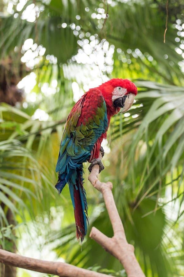 Download Der Hell Mit Federn Versehene Papagei Stockbild - Bild von fliege, vögel: 106802289