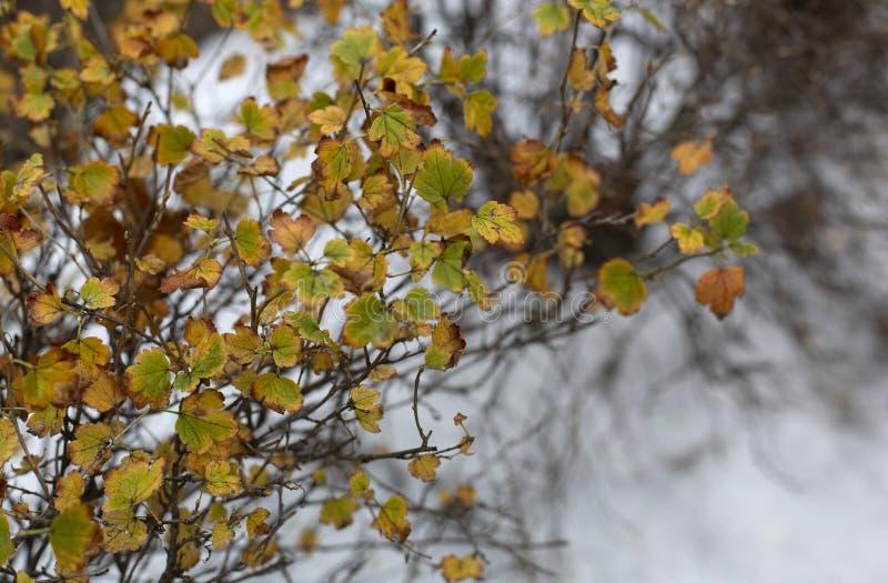 Der Herbstbusch mit gelbem Laub unter dem ersten Schnee lizenzfreies stockbild