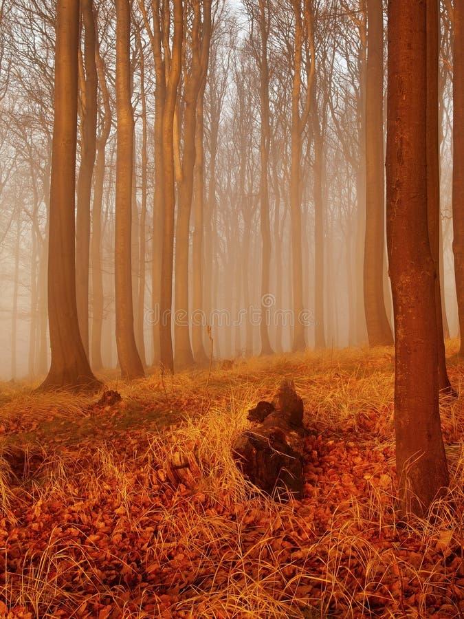Der Herbstsonnenaufgang im Buchenwald. Nebel zwischen nackten Buchenbäumen ohne Blätter. stockbild