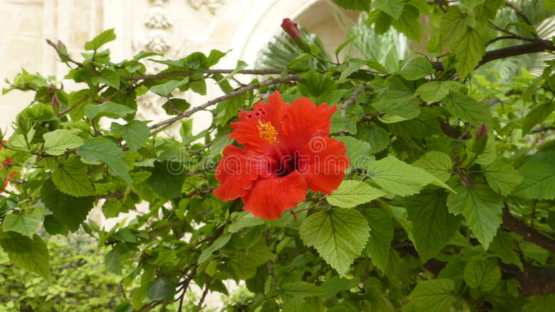 Der Hibiscus ist eine schöne Anlage stockfotos