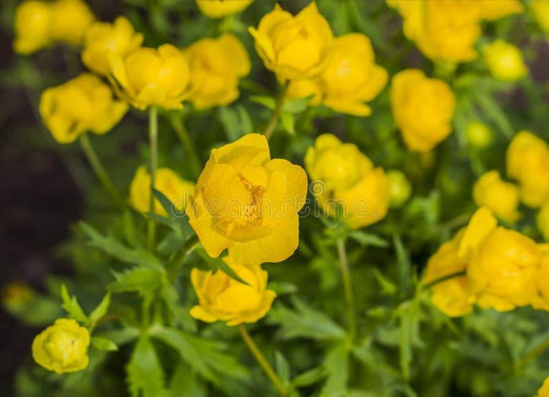 Der Hintergrund ist von einem schönen gelben kugelförmigen Blume Trollius europaeus lizenzfreie stockfotografie