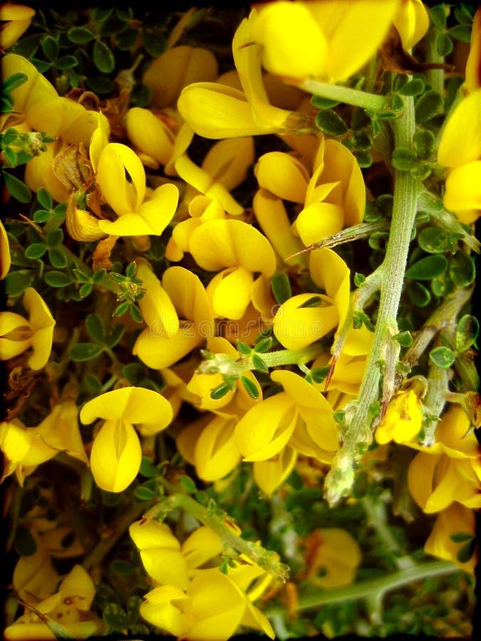 Der hintergrundtapeten-schönen Kunst wilder kleiner Blume Citisus Makrodrucke lizenzfreie stockbilder