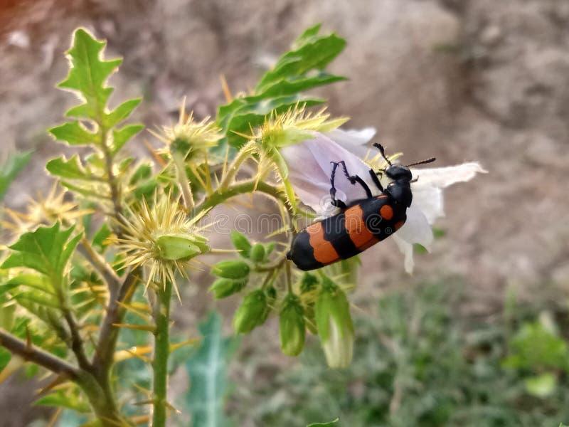 der Honig, der Insekt sucht lizenzfreie stockbilder