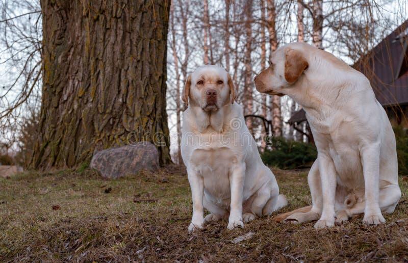 Der Hund betrachtet das Weibchen stockbild