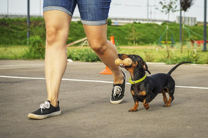 Der Hund der Dachshundzucht, schwarz und bräunen, führen einen aport Befehl in den Wettbewerben für Flexibilität und Gehorsam zus stockfoto