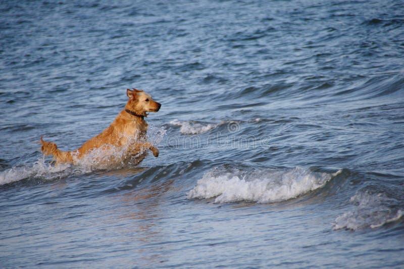 Der Hund in das Meer lizenzfreies stockbild