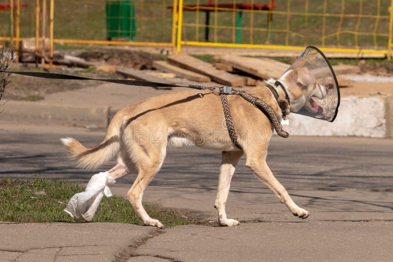 Der Hund geht hinunter die Straße in einem medizinischen Kragen und band seine Tatze nach Chirurgie stockfotos