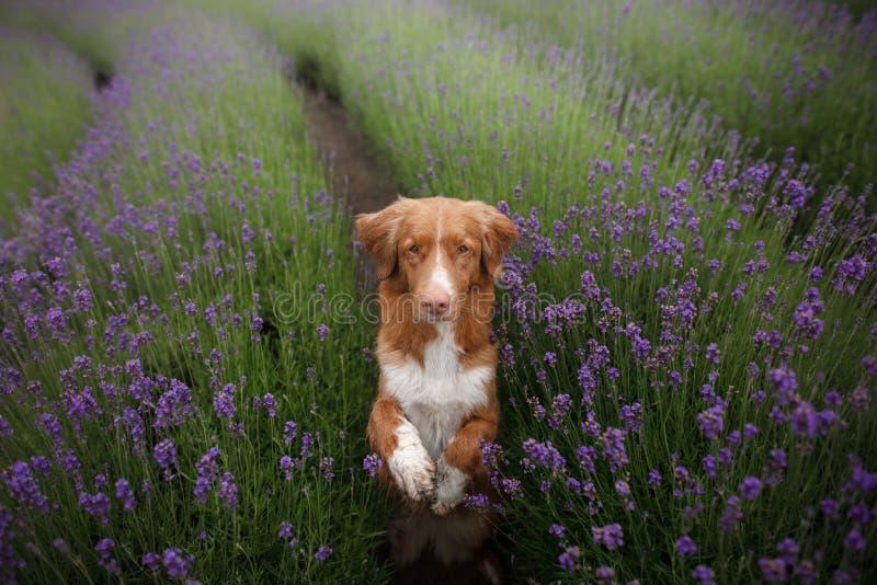 Der Hund gibt die Tatze Haustier in den Farben des Lavendels Bild von oben Lustiges Gesicht stockfoto