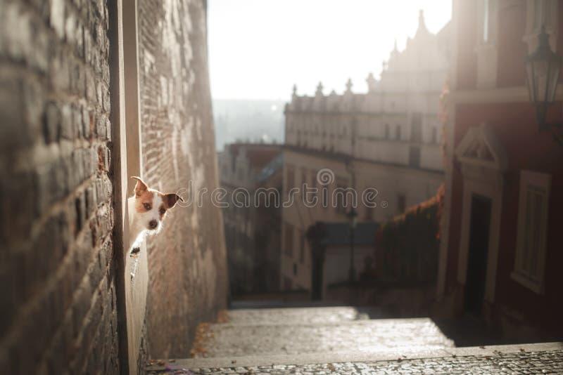 Der Hund Jack Russell Terrier schaut heraus Ergebenes Haustier in der Stadt stockbild