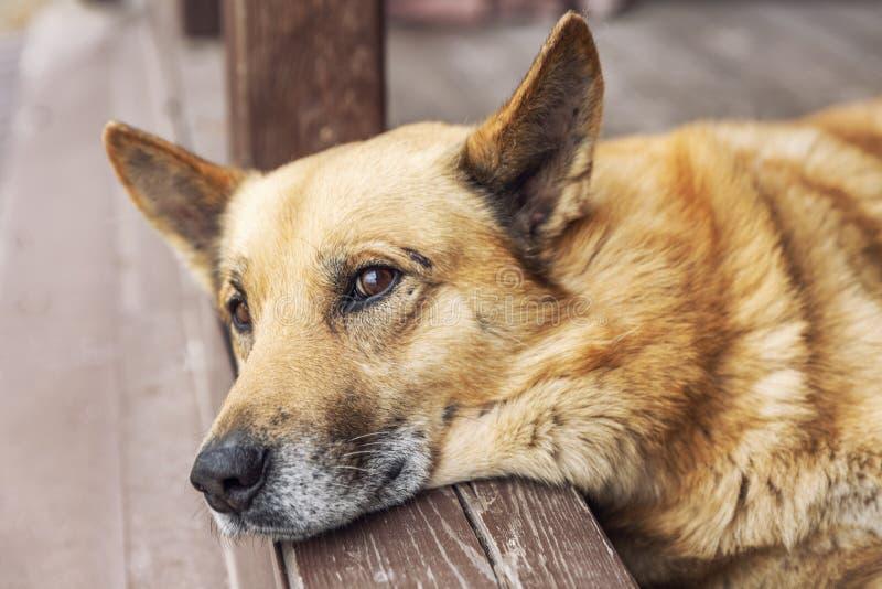 Der Hund lügt und schaut in die Ferne Nahaufnahme Freund und Begleiter stockbilder