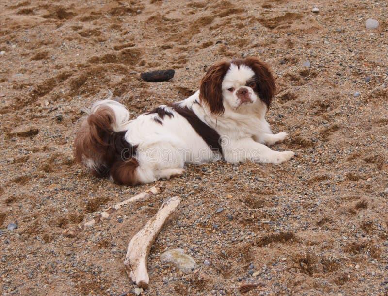 Der Hund liegt auf dem Sand lizenzfreie stockfotografie