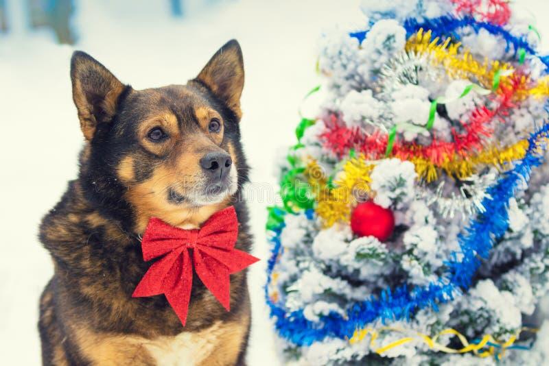 Der Hund mit der roten Fliege, die ordentlichen Weihnachtstannenbaum sitzt lizenzfreie stockbilder