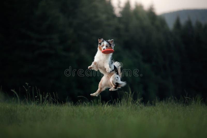 Der Hund spielt mit der Diskette auf dem Gebiet Sport mit Haustier stockbild