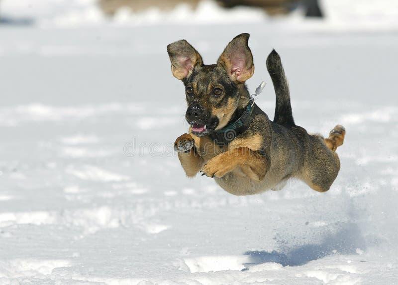 Der Hund springend auf Schnee lizenzfreies stockbild