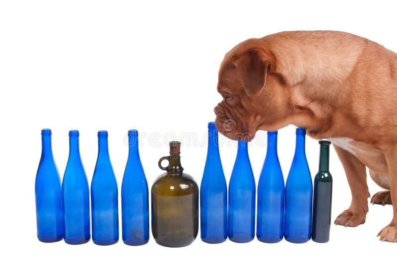 Der Hund und die Weinflaschen stockbild