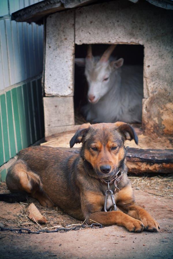 Der Hund und die Ziege lizenzfreie stockfotografie