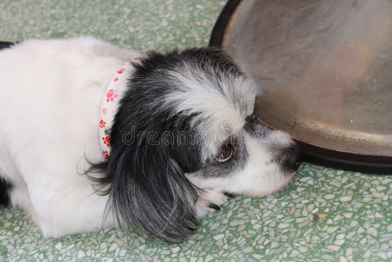Der Hund, viel Fungieren des Hundes im Haus, legen sich hin und schauen ober stockfotografie