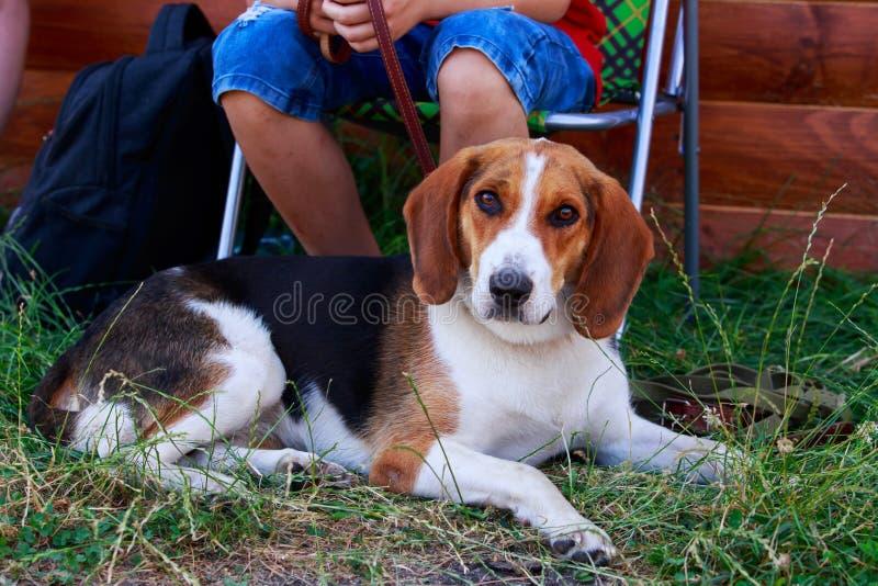 Der Hunderasse American Foxhound stockfotografie