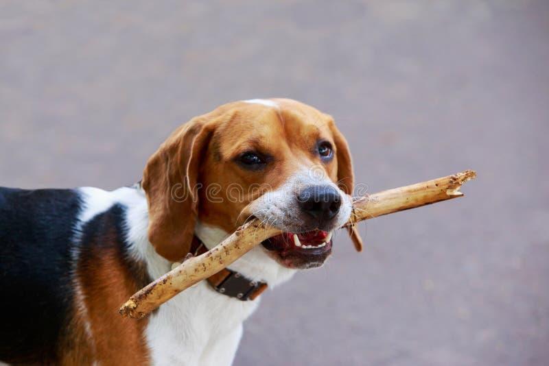 Der Hunderasse American Foxhound stockbilder