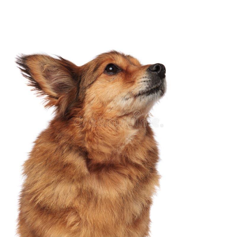 Der hungrige braune Hund, der Welpen macht, mustert schaut oben, um mit Seiten zu versehen lizenzfreies stockbild