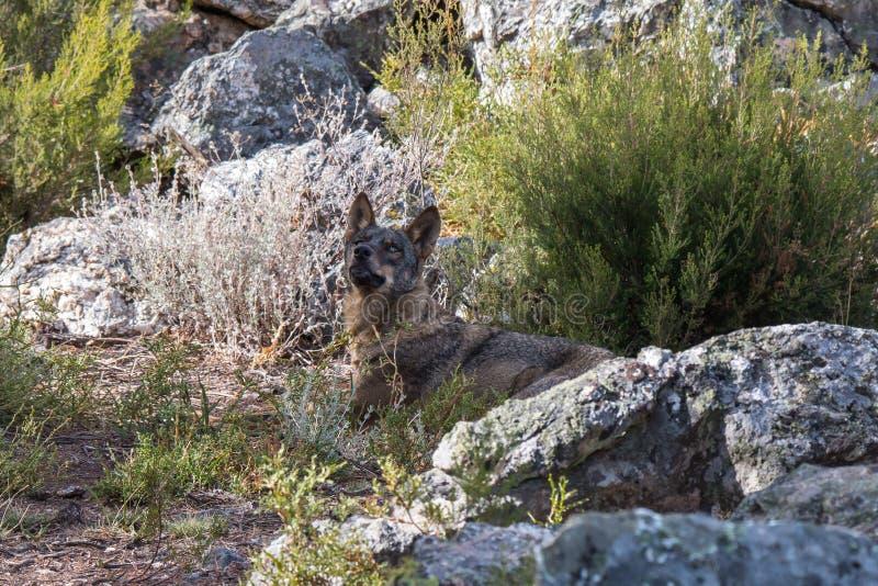Der iberische Wolf lizenzfreies stockbild