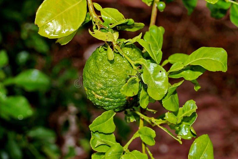 Der im Garten arbeitende Kaffirkalk, Kaffirkalk trägt auf Baum Früchte lizenzfreies stockfoto