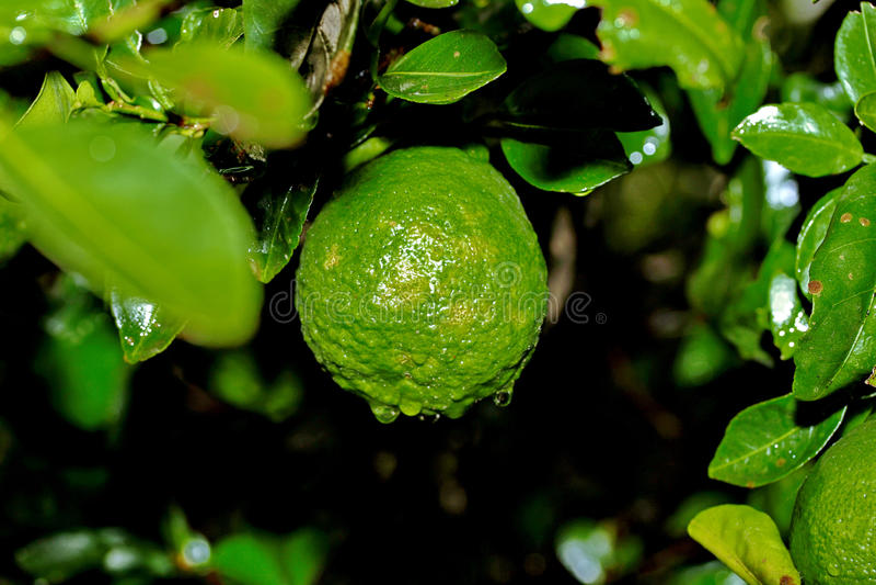Der im Garten arbeitende Kaffirkalk, Kaffirkalk trägt mit Wassertropfen auf tre Früchte stockbilder