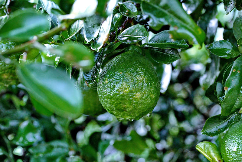 Der im Garten arbeitende Kaffirkalk, Kaffirkalk trägt mit Wassertropfen auf tre Früchte lizenzfreie stockfotos