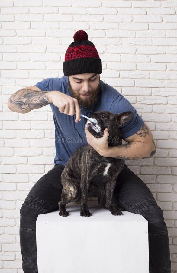 Der Inhaber putzt die Zähne seines Haustieres Hundefranzösische Bulldogge Zahnbürste und Zahnpasta stockfotografie