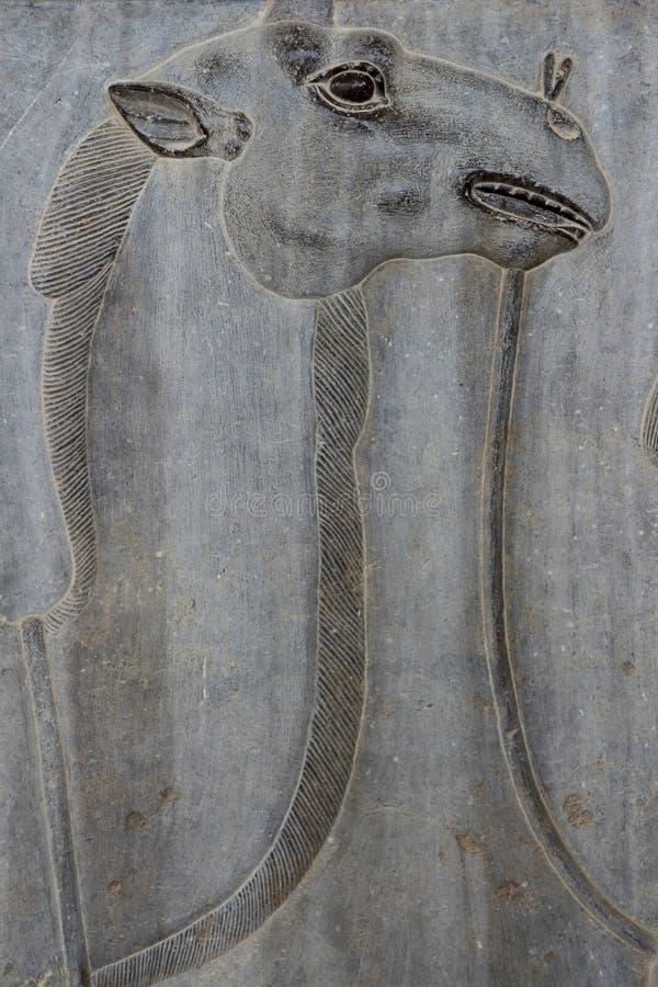 Der IRAN Persepolis: Dromedar lizenzfreies stockbild