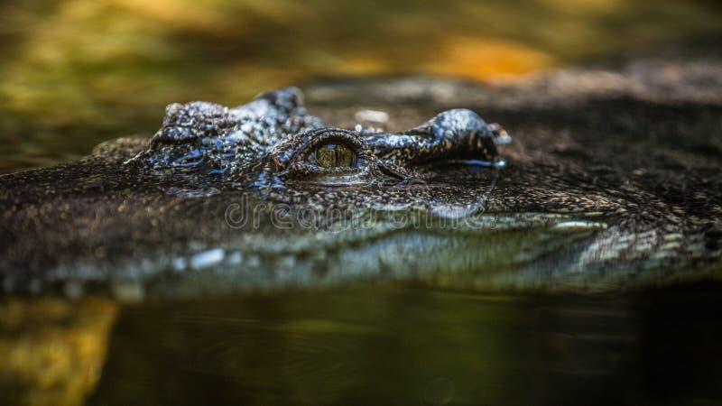 Der Jagd-Alligator stockbilder