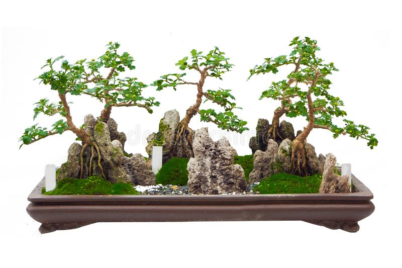 Der japanische Bonsaibaum auf dem weißen Hintergrund lokalisiert stockfotografie