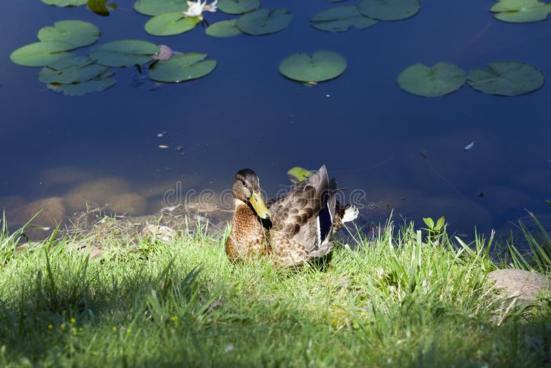 Der junge Entenherbstrest-Grassee stockbild